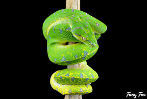 Green Tree Python (Morelia Viridis) (Photography) - Fuzzy Fox Reptiles and Rodents