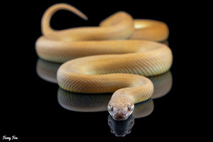 Patternless T+ Childrens Python (Antaresia maculosa) (Photography) - Fuzzy Fox Reptiles and Rodents