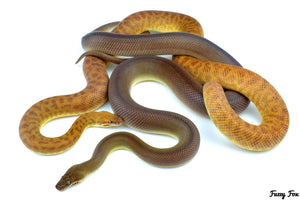 T+ & Patternless Childrens Pythons (Antaresia Childreni) (Photography) - Fuzzy Fox Reptiles and Rodents