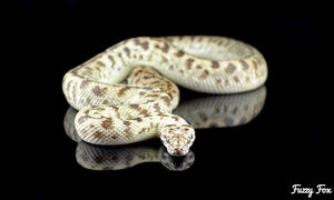 Platinum Spotted Python (Antaresia maculosa) - Fuzzy Fox Reptiles and Rodents