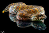 Southern Death Adder (Acanthopis antarticus) (Photography) - Fuzzy Fox Reptiles and Rodents