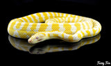 Albino Darwin Carpet Python (Morelia Spilota Verigata) (Photography) - Fuzzy Fox Reptiles and Rodents