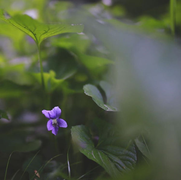 HERBAL PROFILE: VIOLET