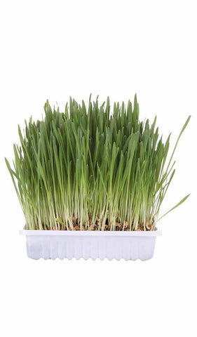 Cat Grass 100g Cat Accessories Trixie
