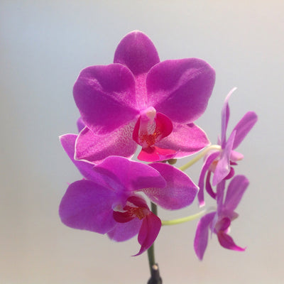 Pink orchids (small)