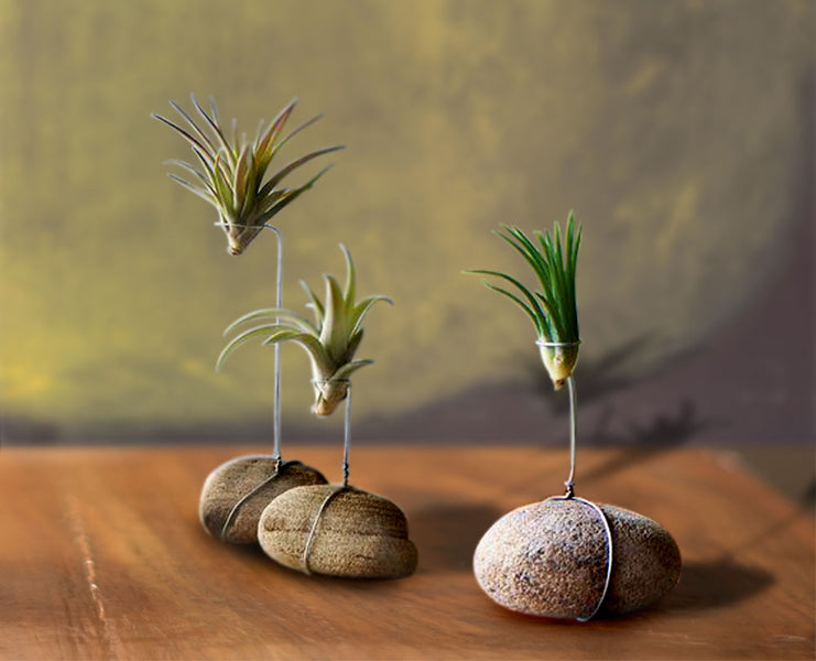10 Gorgeous Ways to Display Air Plants in 10 minutes or less