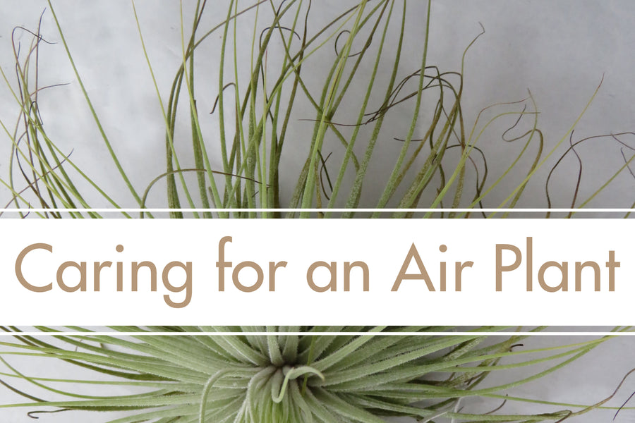Houseplant Spotlight: Air Plants - Tillandsia