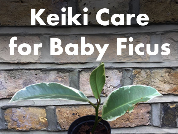 Keiki care for baby Ficus