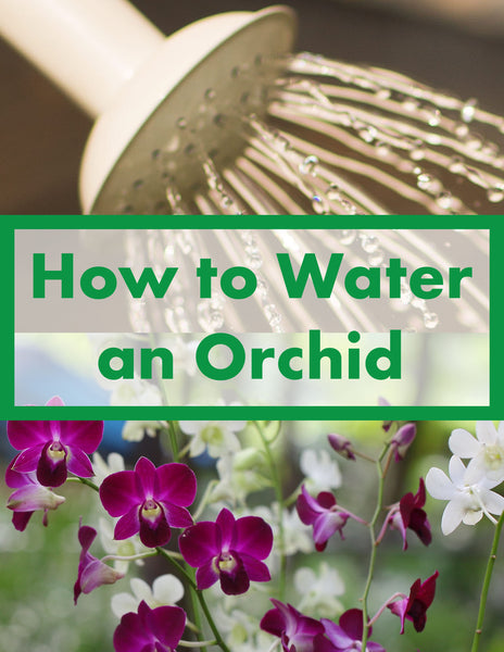 How to Water an Orchid