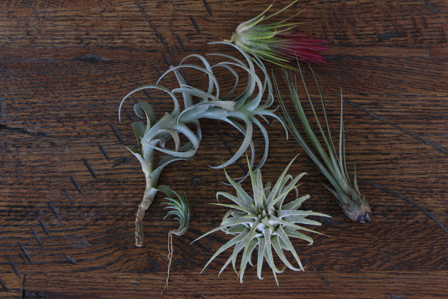 Five fun Air Plants you need RIGHT NOW