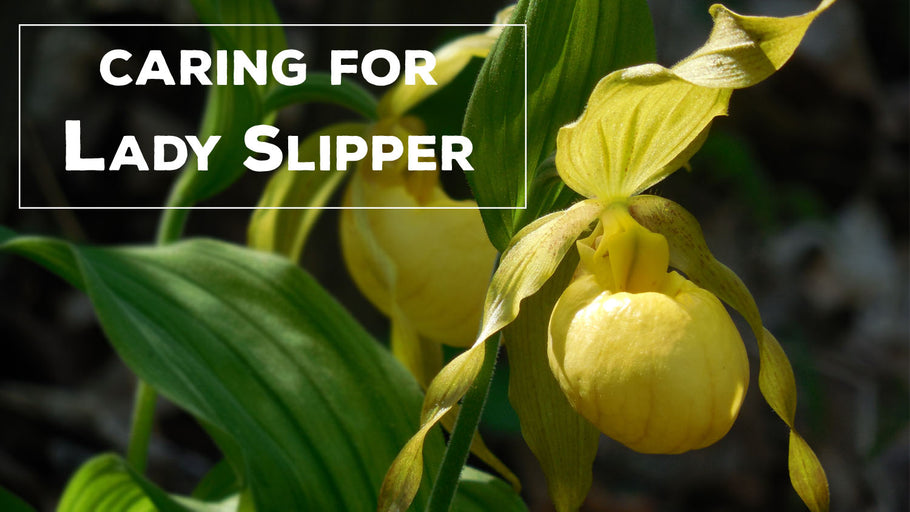 Houseplant Spotlight: Lady Slipper Orchids