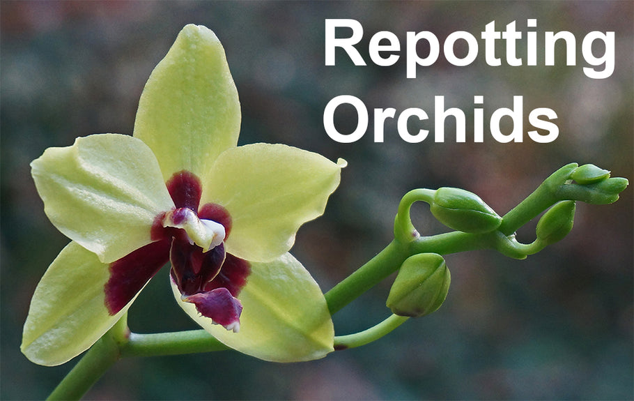 When and How to Repot Orchids