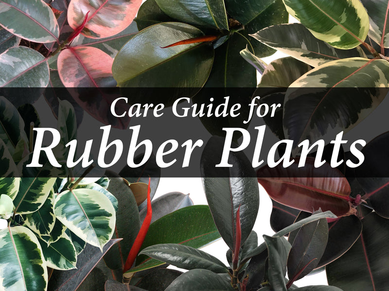 Rubber Plant: Care Guide