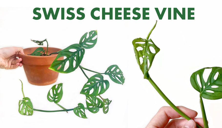 Where To Get That Rare Swiss Cheese Vine