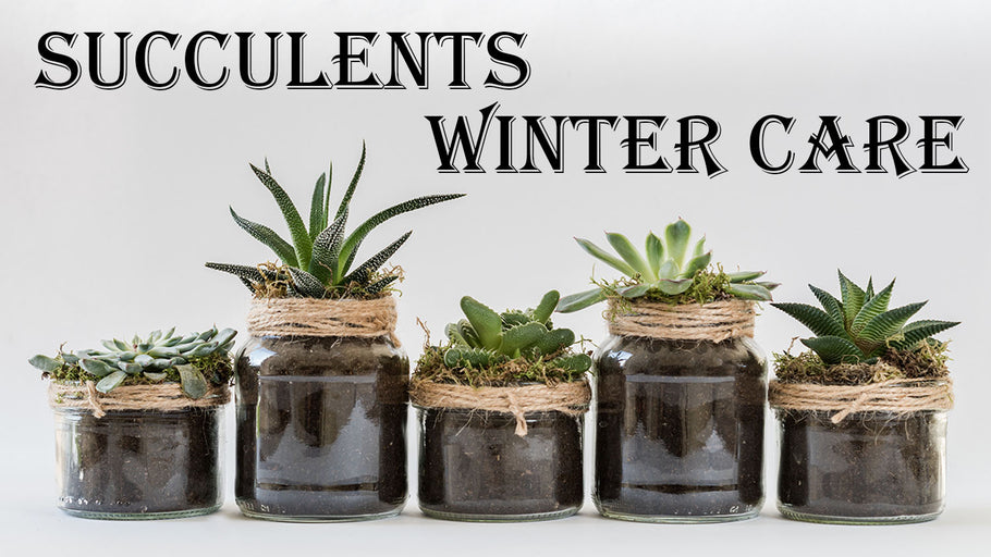 Saving Your Succulents For Santa