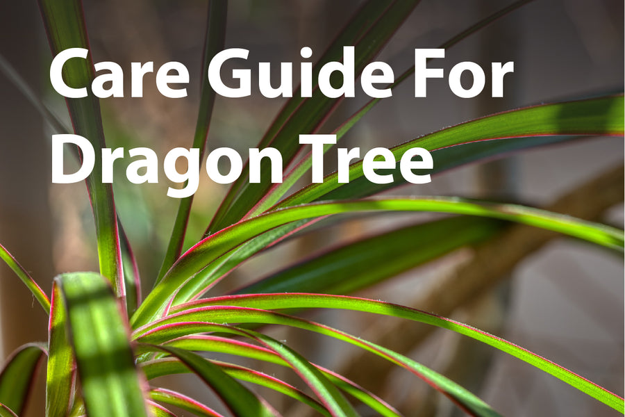 Dragon Tree: Care Guide