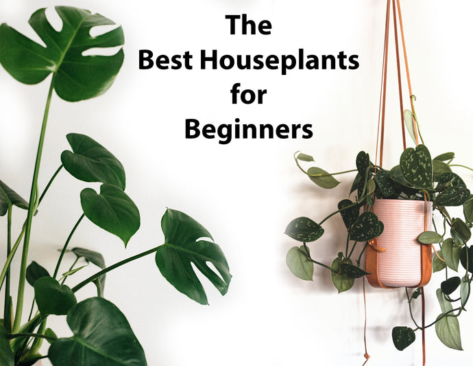 Super-plants for the New Year: the best houseplants for beginners