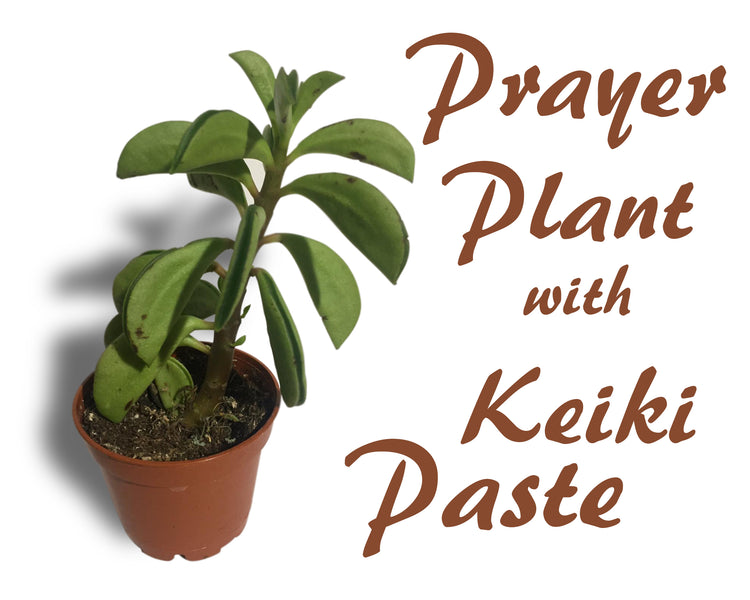 Pep up your Prayer Plant with Keiki Paste