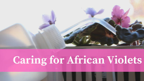 watering an African Violet