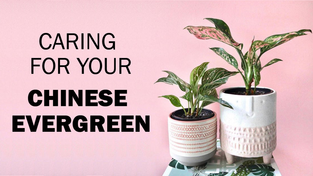 caring for chinese evergreen