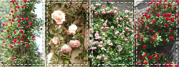 training climbing rose
