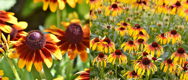 Fiery Meadow Mama Echinacea (Coneflower)