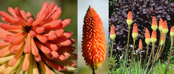 Gold Rush Red Hot Poker