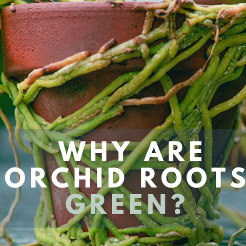 Why are Orchid Roots Green?