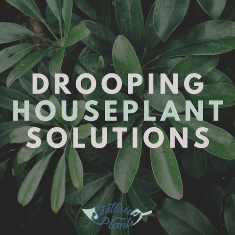 Drooping Houseplant Solutions
