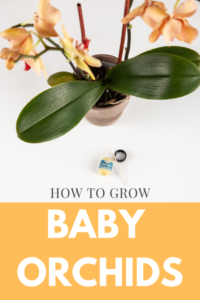 How to grow baby orchids