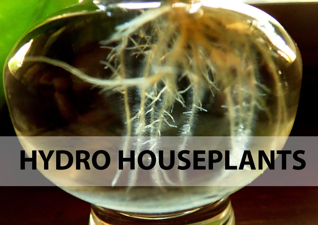 hydro houseplant - plant care