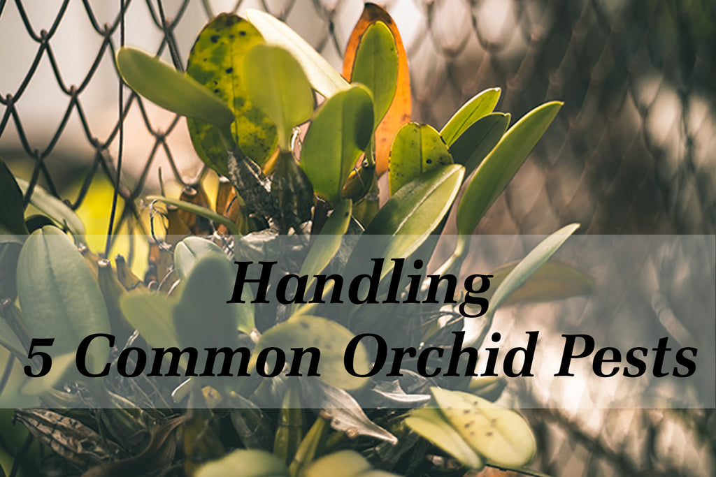 common orchid pests