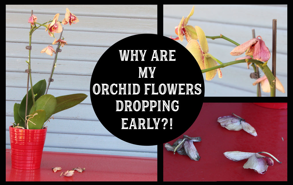Dropping orchid flowers