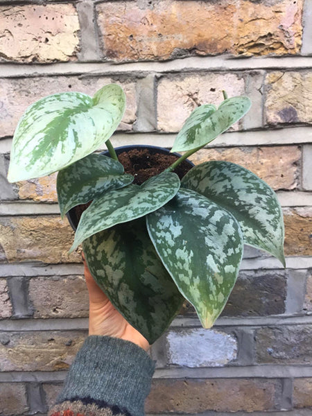 silver philodendron
