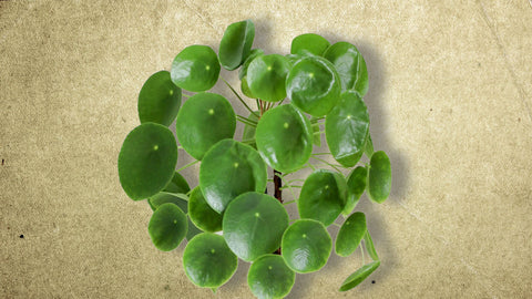 Pilea Peperomioides leaves