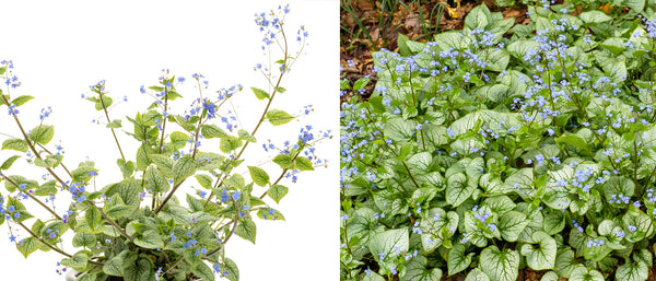 Queen of Hearts Brunnera