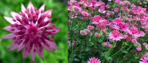 Star of Love Astrantia