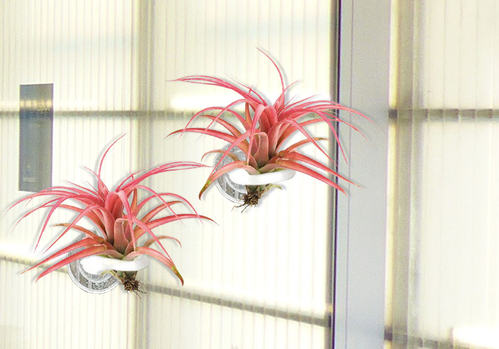 air plant - suction cup