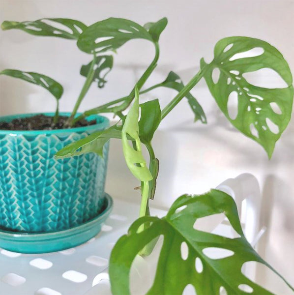 Swiss Cheese Vine in a blue pot