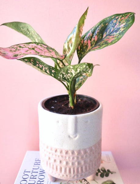 chinese evergreen in white-pink pot