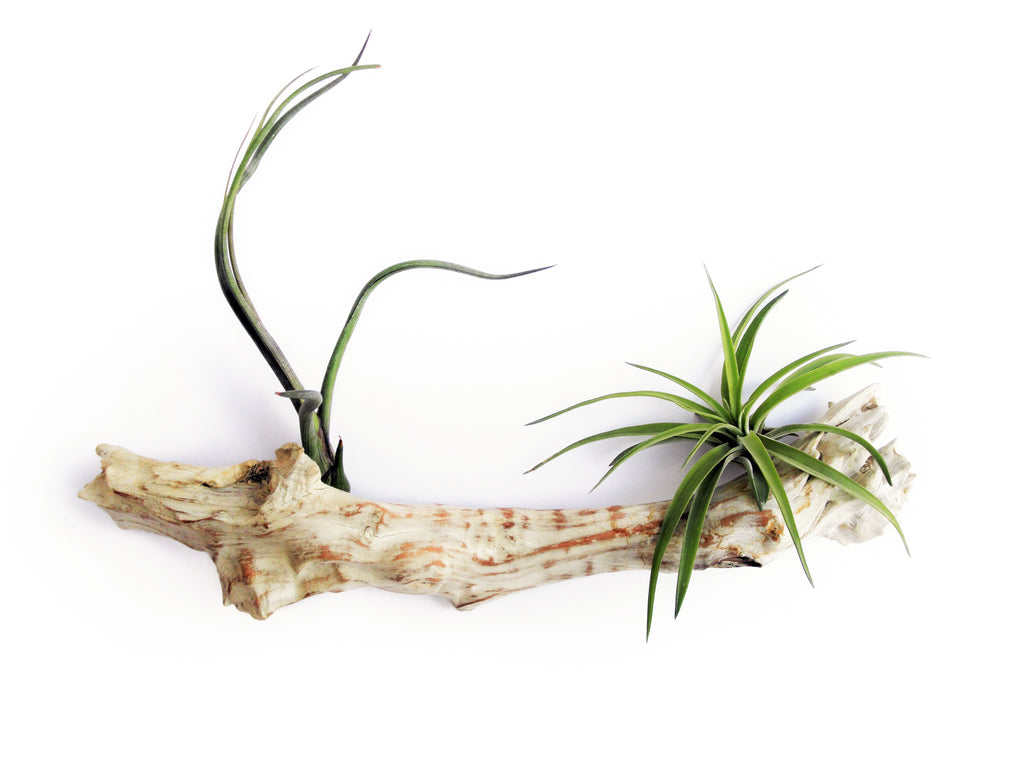 air plant - drift wood