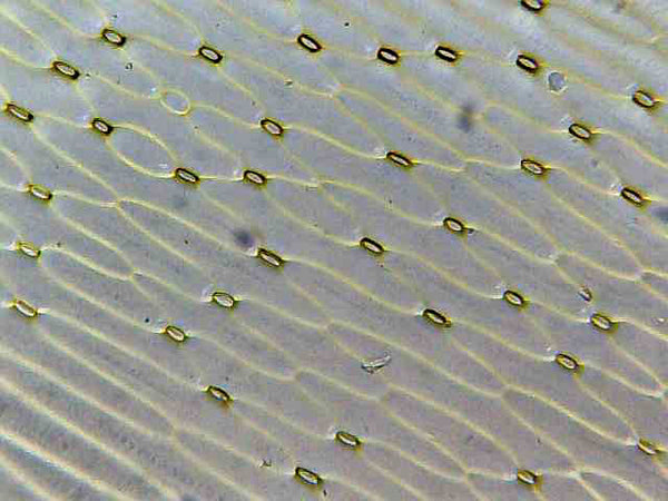 Spider plant stomata magnified