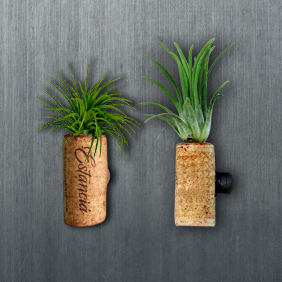 air plant fridge magnet