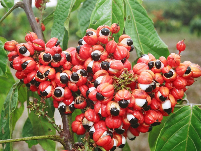 Guarana seeds – all you need to know about Brazilian Cocoa