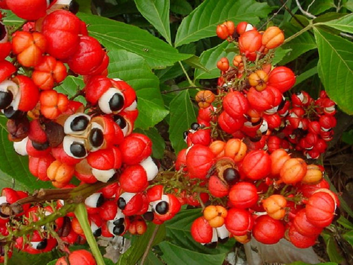 9 Benefits of Guarana
