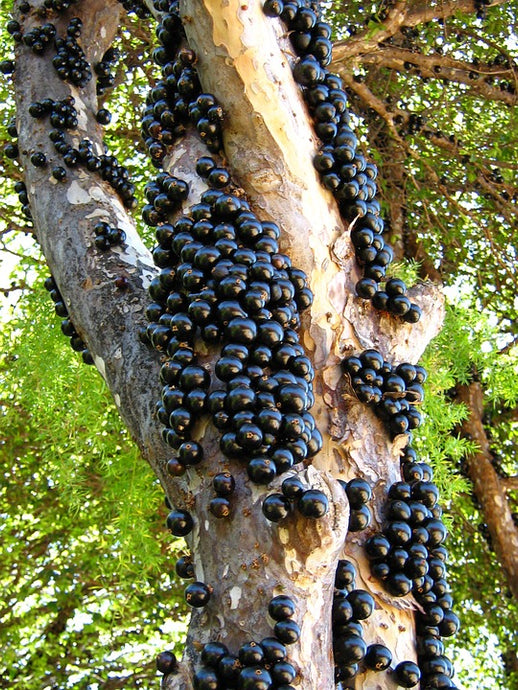 The science behind Jaboticaba extract amazing effects