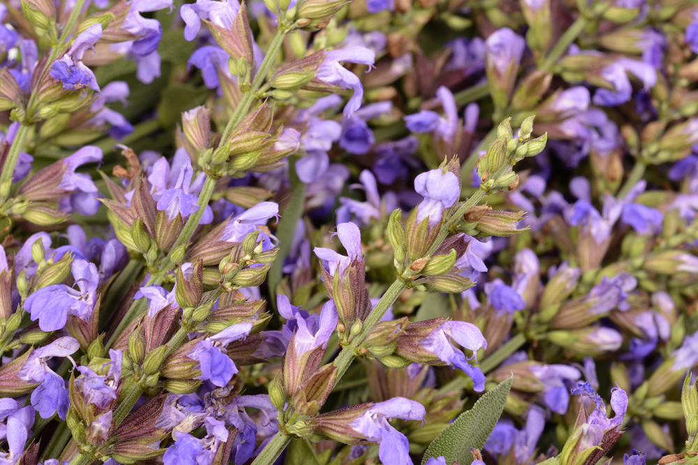 Clary Sage plant for essential oils