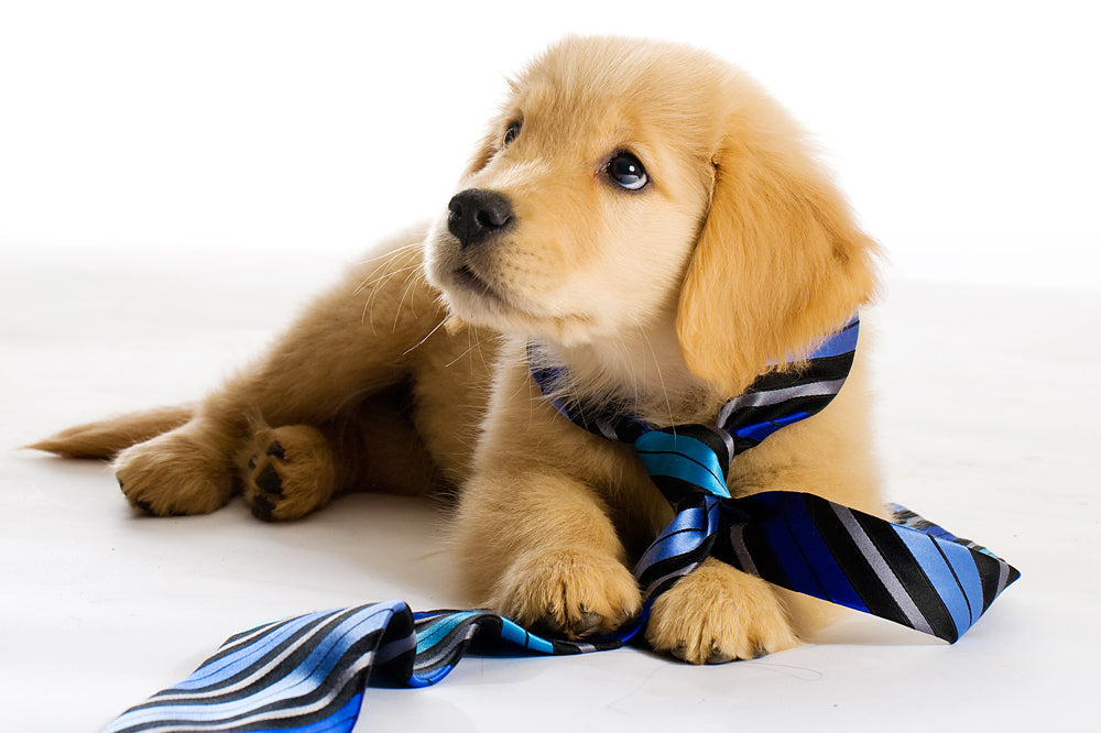 Cute Puppy with a blue striped tie