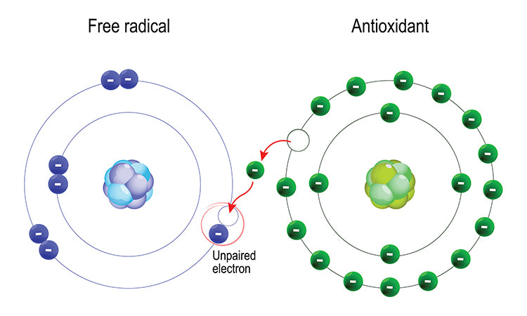 The Relationship Between Antioxidants and Free Radicals