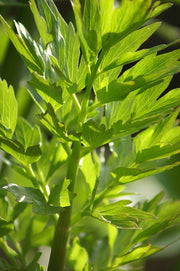 Lovage Essential Oil